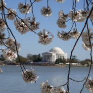#TBT Art Image – Cherry Blossoms in DC